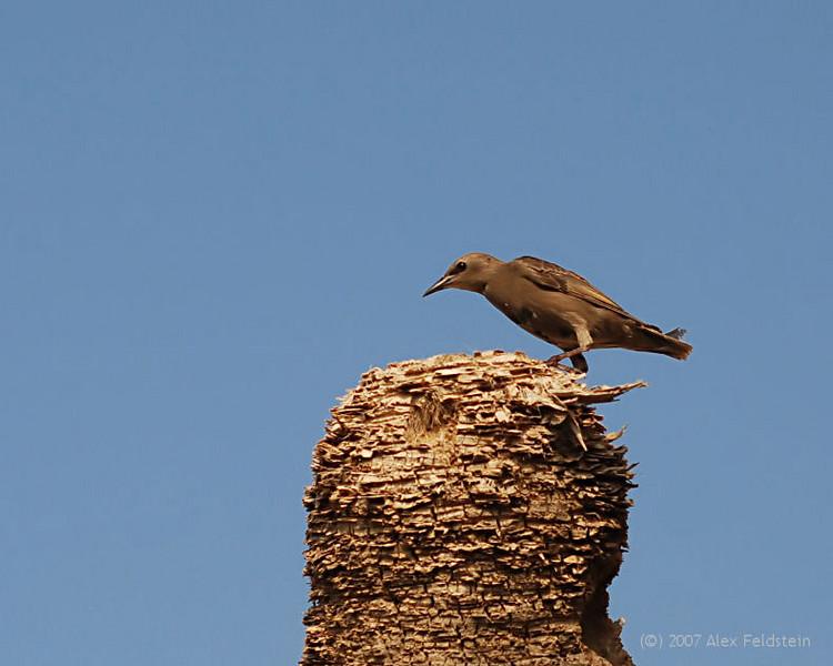European Starling (immature)