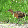 King Rail, Anahuac NWR, TX