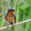 Barn Swallow, male, Anahuac NWR, Texas
