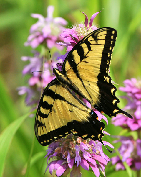 Tiger Swallowtail, Trinity River Audubon, Dallas, TX