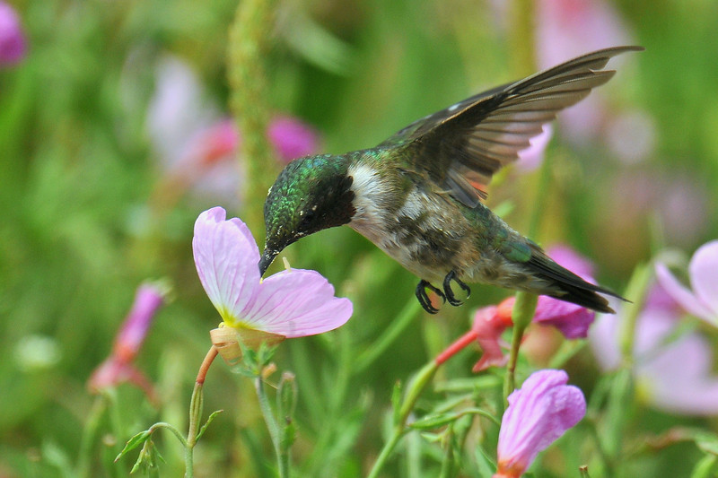 Ruby-throated Hummingbird, male, Anahuac NWR, Texas.  Taking nectar from the Primrose.