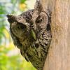 Eastern Screech-Owl, McAllen, TX