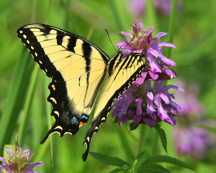 Tiger Swallowtail, Trinity River Audubon, Dallas, TX