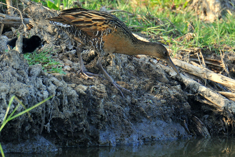 King Rail, Anahuac NWR, TX, note the chick.