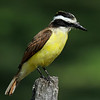 Great Kiskadee, Mission Texas