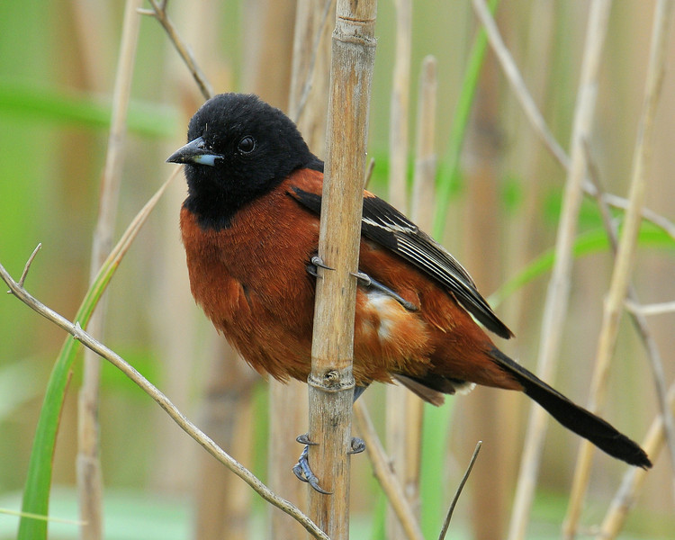 Orchard Oriole, male, Anahuac NWR, Texas