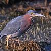 Green Heron, Anahuac NWR, TX