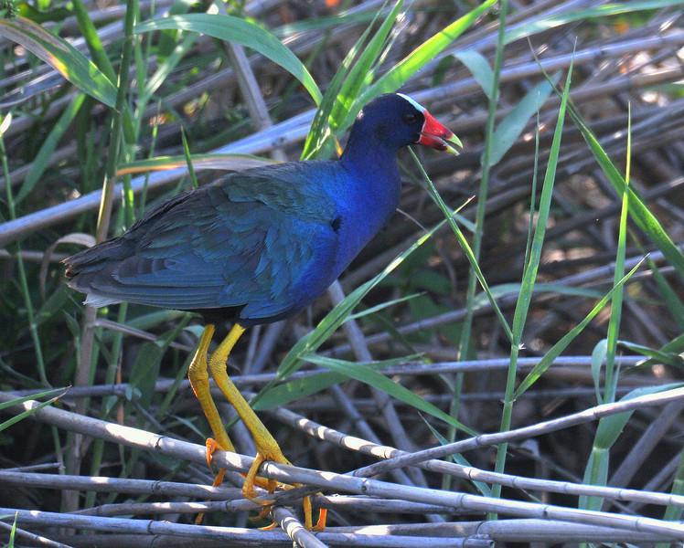 Purple Gallinule, Anahuac NWR, TX
