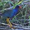 Purple Gallinule, Anahuac NWR, TX
