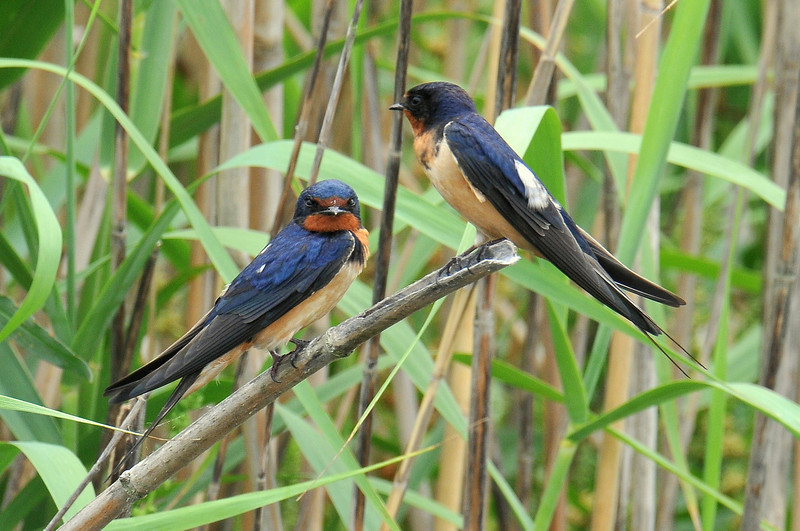 Barn Swallows, females, Anahuac NWR, Texas