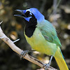 Green Jay, Benstsen State Park, Mission, TX