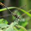 Tamulipan Club Tail, male, along the Rio Grande near Mission, T