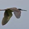 Tri-color Heron, Anahuac, TX