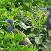 Tri-color Herons, High Island, TX.