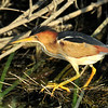 Least Bittern, male, Anahuac NWR, Texas