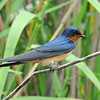 Barn Swallow, female, Anahuac NWR, Texas
