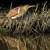 Least Bittern, female, Anahuac NWR, Texas