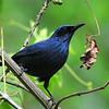Blue Mockingbird