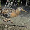 King Rail, Anahuac NWR, Texas