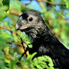 Groove-billed Ani, Benstsen State Park, Mission, TX