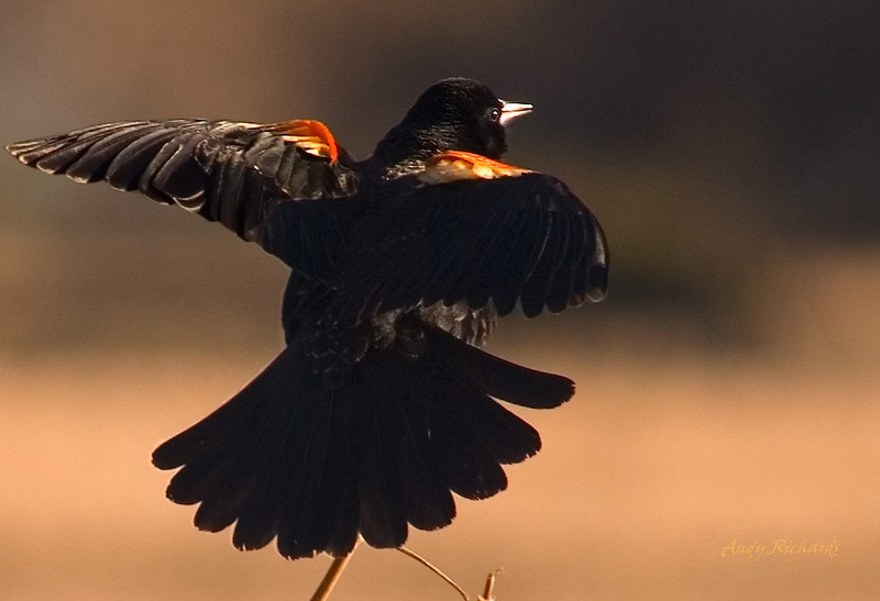 Red Winged Black Bird taking flight