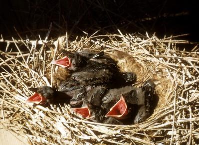 Raven (Eremophila alpestris), Ogden Bay Refuge, Weber Co., Utah, 1948