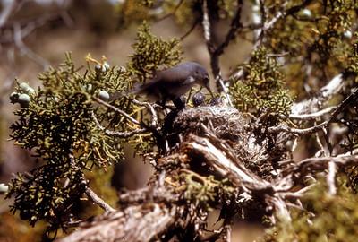 Blue-gray Gnatcatcher (Polioptila caerulea), Cedar Mountains, Utah, 1953