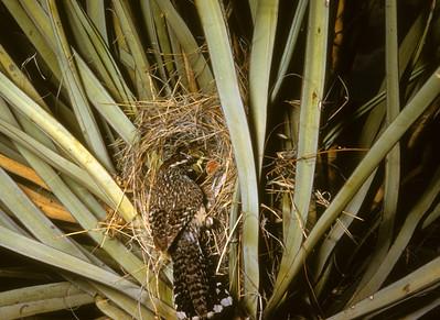 Cactus Wren (Campylorhynchus brunneicapillus), Big Bend National Park, Texas, 1958