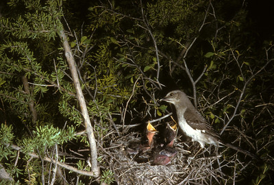 Mockingbird (Mimus polyglottos), Big Bend National Park, Texas, 1958