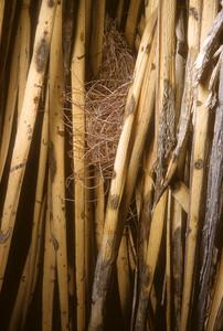 Scott's Oriole (Icterus parisorum) nest, Big Bend National Park, Texas, 1958