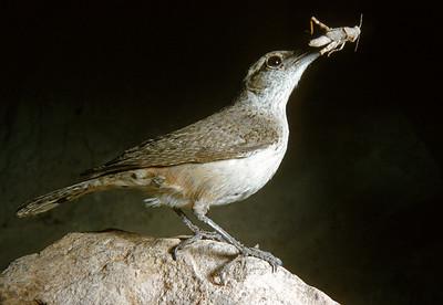 Rock Wren (Salpinctes obsoletus), Big Bend National Park, Texas, 1958