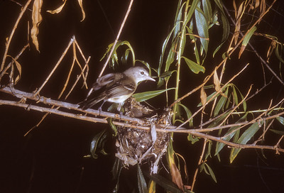 Bell's Vireo (Vireo bellii), Big Bend National Park, Texas, 1958