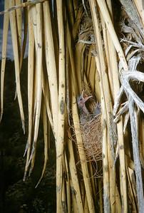 Scott's Oriole (Icterus parisorum), Big Bend National Park, Texas, 1958