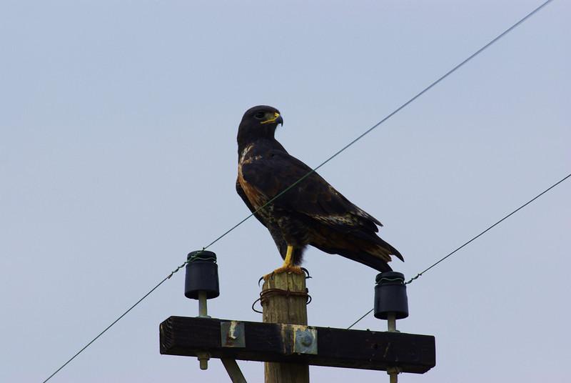 jackal buzzard, Cape Agulhas