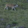 eland, Giants Castle, Drakensberg Mtns.