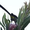 Cape sugarbird feeding on protea bloom, Kirstenbosch Garden, Cape Town