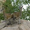 klipspringer pair, Kruger NP