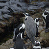African penguins with grey heron