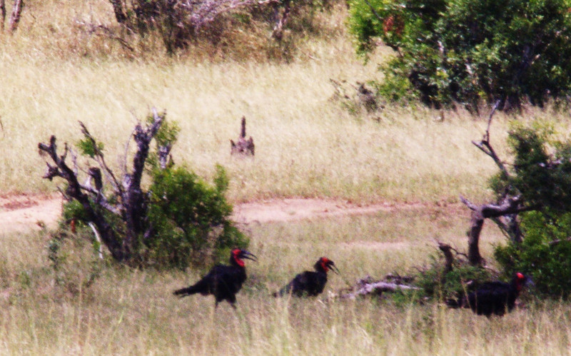 southern groung hornbill family foraging
