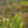 orange-bellied sunbird, fynbos, Rooi Els