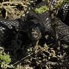 mole snake disturbed while hunting molerats