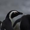 African penguin, Bettys Baai