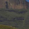 Eland herd, Drakensberg Mtn.