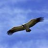 Cape vulture, Drakensberg Mtns.