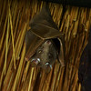 eppauletted fruitbat, Kruger NP