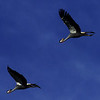 Southern crowned cranes in flight