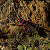 grasshopper, Giants Castle NP