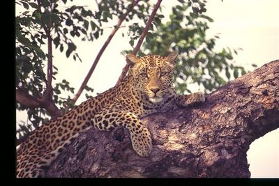 Female leopard in tree