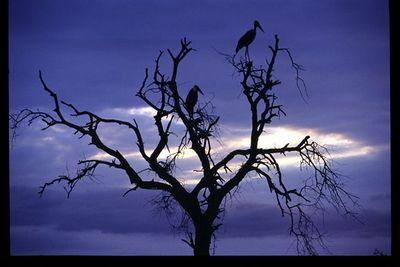 Marabou storks in silhouette
