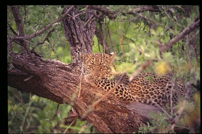 Young (9 mo) lopard in tree (artificial light enhancement)